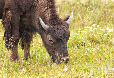 Poster featuring the photograph Young Bison by Belinda Greb