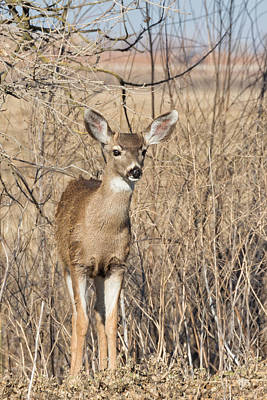 Young Black-tailed Deer Poster