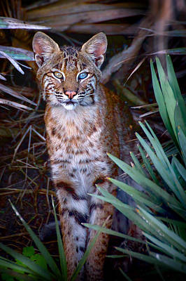 Young Bobcat Poster by Mark Andrew Thomas