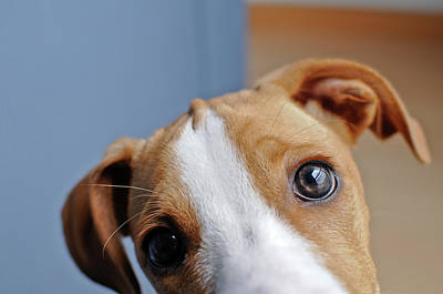 Young Brown Dog At Home Poster