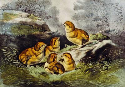 Young Chicks Circa 1856 Poster