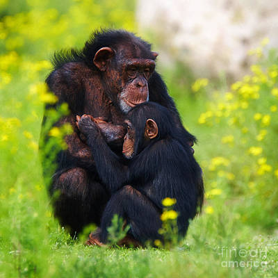 Young Chimpanzee With Adult - II Poster