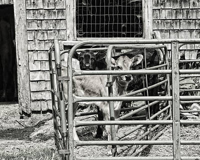 Young Cows In Pen Near Barn Maine Photograph Poster