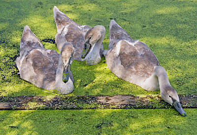 Poster featuring the photograph Young Cygnets by Gordon Ripley