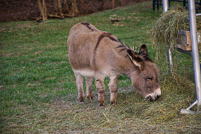 Young Donkey Eating Poster