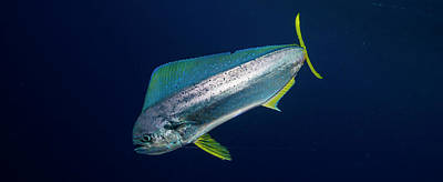 Young Dorado Coryphaena Hippurus Poster by Panoramic Images