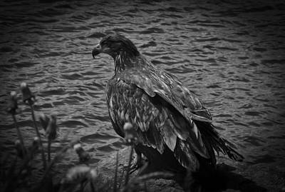 Poster featuring the photograph Young Eagle Bw by Timothy Latta
