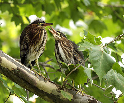 Poster featuring the photograph Young Green Herons by David Lester