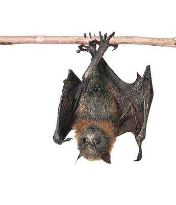 Young Grey-headed Flying Fox Poster by Science Photo Library