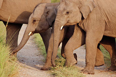 Young Indian Asian Elephants (tuskers Poster