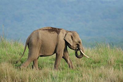 Young Indian Elephant Poster by Jagdeep Rajput