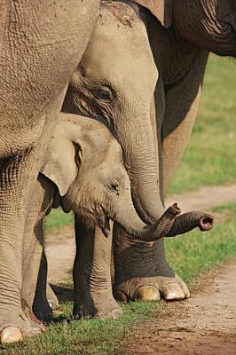 Young Indian Elephants At Play,corbett Poster by Jagdeep Rajput