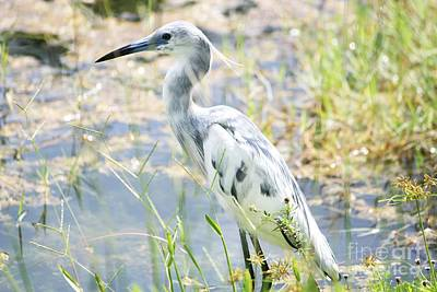 Young Little Blue Heron Poster by Theresa Willingham