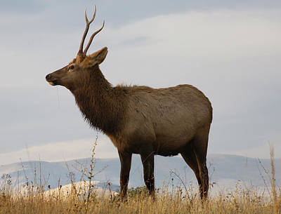 Young Male Elk With Horns Eating Grass Poster