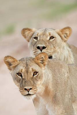 Young Male Lions Without Manes Poster