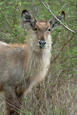 Young Male Waterbuck Poster