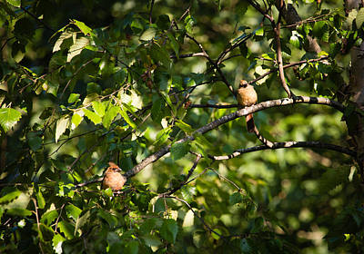 Fledgling Northern Cardinal Siblings Poster by Christy Cox