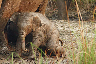 Young One Of Indian Elephant Poster by Jagdeep Rajput