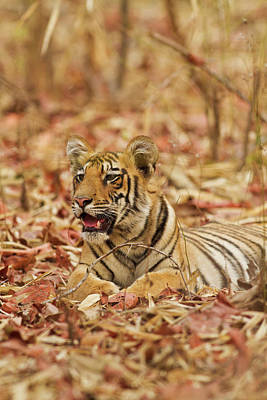 Young One Of Royal Bengal Tiger, Tadoba Poster by Jagdeep Rajput