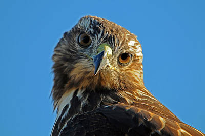 Young Redtail Hawk Part 2 Poster