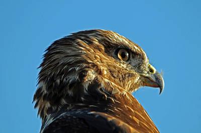 Young Redtail Hawk Portrait Poster
