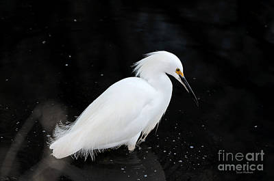 Young Snowy Egret Poster by Susan Wiedmann