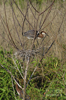 Young Tricolored Heron In Nest Poster