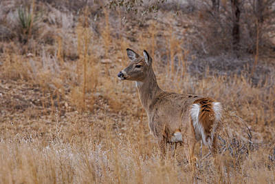 Young Whitetail Deer Poster by Ernie Echols