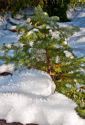 Young Winter Pine Poster