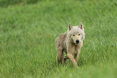 Young Wolf In Grasses In Kukak Bay Poster