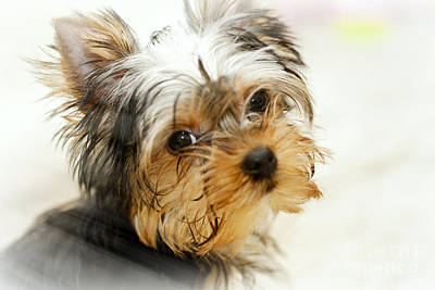 Yourkshire Terrier Puppy Looking  Loveable Poster