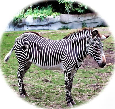 Poster featuring the photograph Zebra 1 by Dawn Eshelman