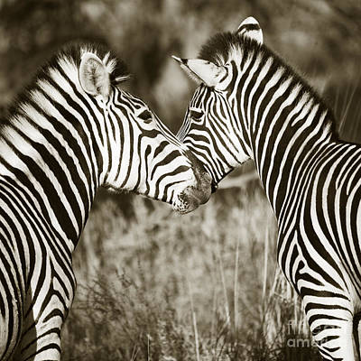 Poster featuring the photograph Zebra Affection by Liz Leyden