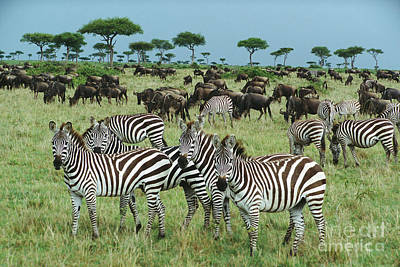 Zebra And Wildebeest Grazing Masai Mara Poster by Yva Momatiuk and John Eastcott