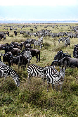 Zebra And Wildebeest Poster by Marc Levine