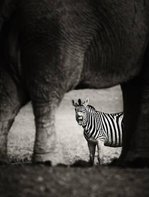 Zebra Barking Poster