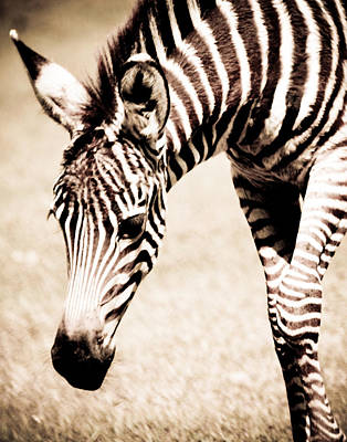 Zebra Foal Sepia Tones Poster by Maggy Marsh