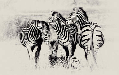 Zebra Foursome Poster by Christa Niederer