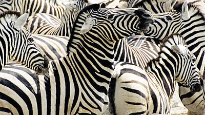 Poster featuring the photograph Zebra Gathering by Dennis Cox WorldViews