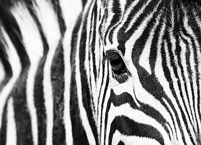 Zebra Gaze Poster