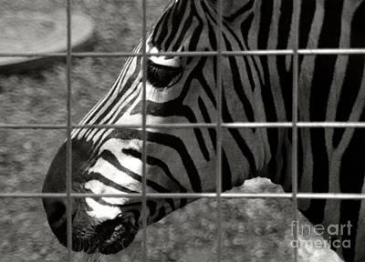 Poster featuring the photograph Zebra Grid by Tom Brickhouse
