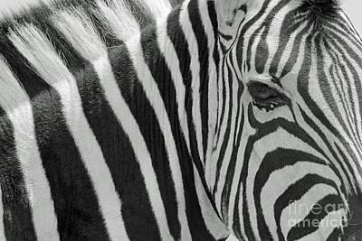 Zebra Harmony Of Stripes Poster by Hermanus A Alberts