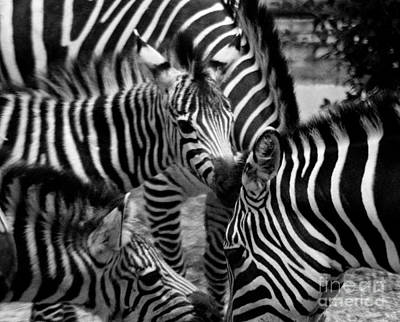 Poster featuring the photograph Zebra In A Crowd by Tom Brickhouse