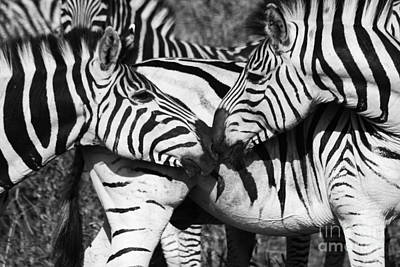 Zebra Kiss Poster by Christina Gupfinger