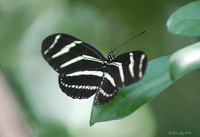 Zebra Longwing Butterfly A Quite Moment Poster