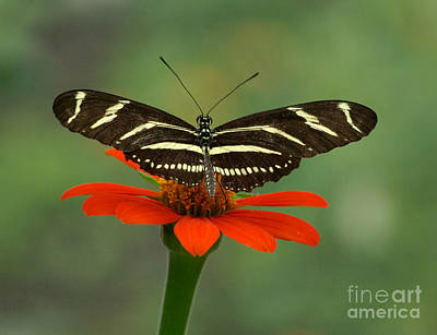 Zebra Longwing Butterfly Poster by Liz Masoner