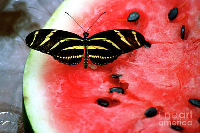 Zebra Longwing Butterfly On Watermelon Slice Poster