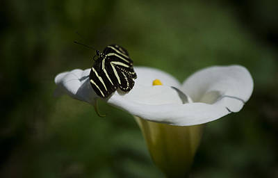 Zebra Longwing In A Calla Lilly  Poster