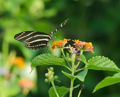 Poster featuring the photograph Zebra Longwing by Jane Luxton