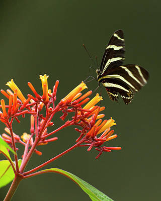 Zebra Longwing On Fire Bush Flowers Poster